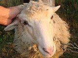Аксайские овцеводы получили деньги нацпроекта за липовую вакцинацию скота