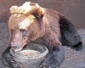 Рабочие с Медведицы усыновили сибирского медведя