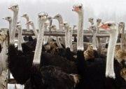 Пенсионерку от безработицы спасли страусы