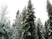 За елки будут штрафовать и сажать