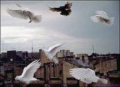 Волгоградец вырастил 175 кг марихуаны для голубей