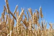 В Волгоградской области гибнут посевы
