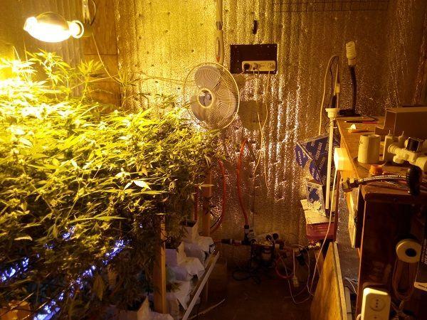 В Волжском ликвидировали крупную лабораторию по производству марихуаны