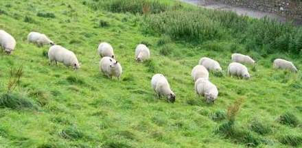 ovcipas