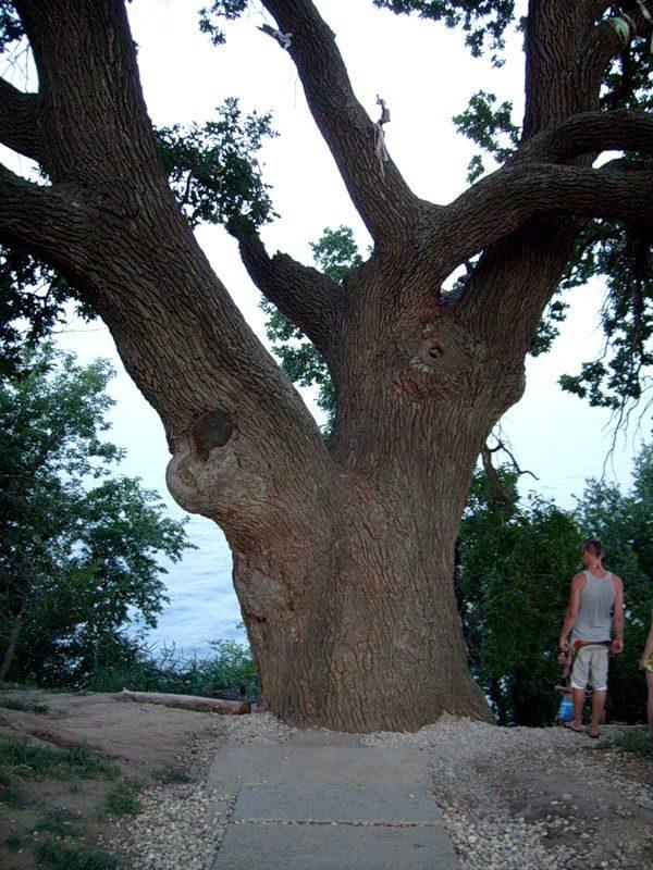 В Волгоградской области клонируют дуб-легенду