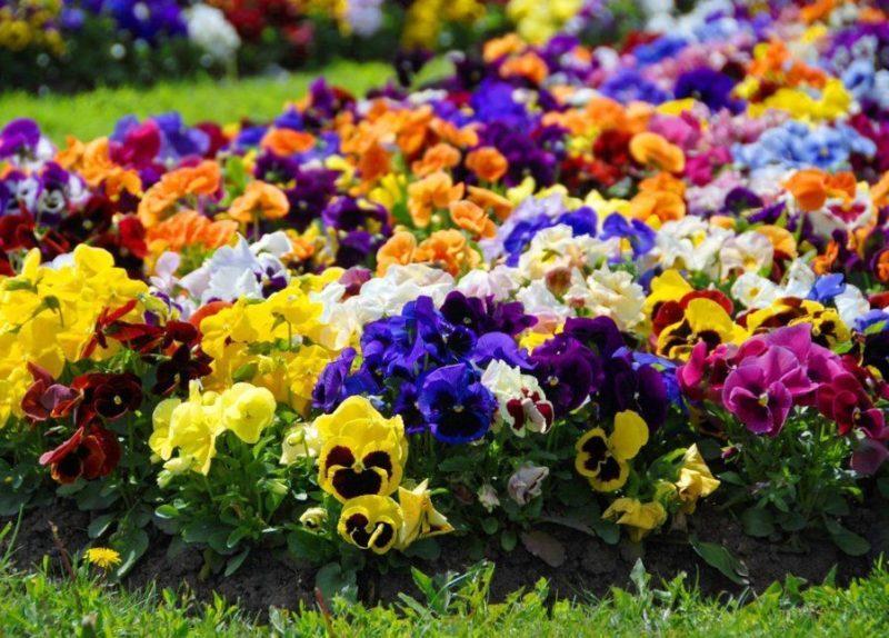 В Волгоградском региональном ботаническом саду зацвели однолетние культуры