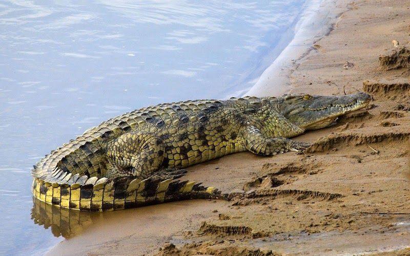 Утащенный крокодилом мальчик утонул