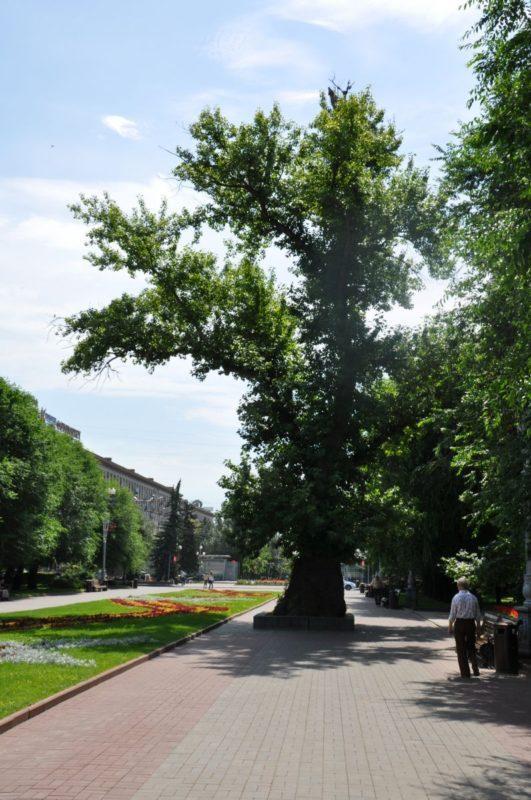 Знаменитый волгоградский тополь поражен ядровой гнилью