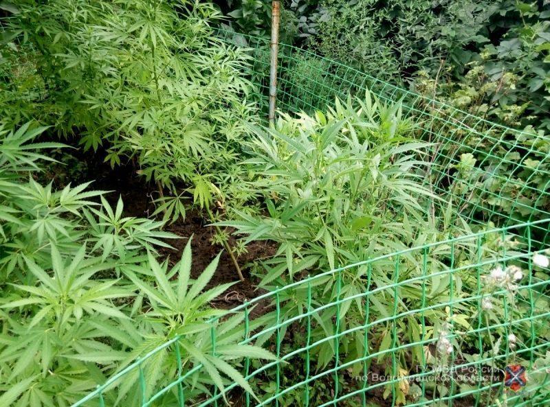 Житель Котельниковского района на грядке с овощами выращивал коноплю