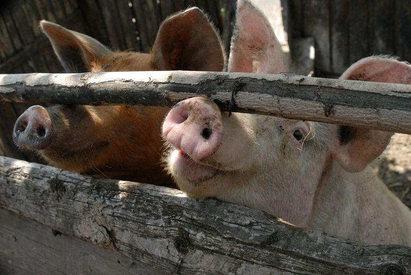 В Волгоградской области обнаружен второй очаг африканской чумы свиней