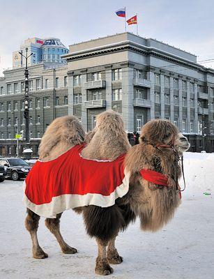 Россия – родина страусов, верблюдов и овчубуков