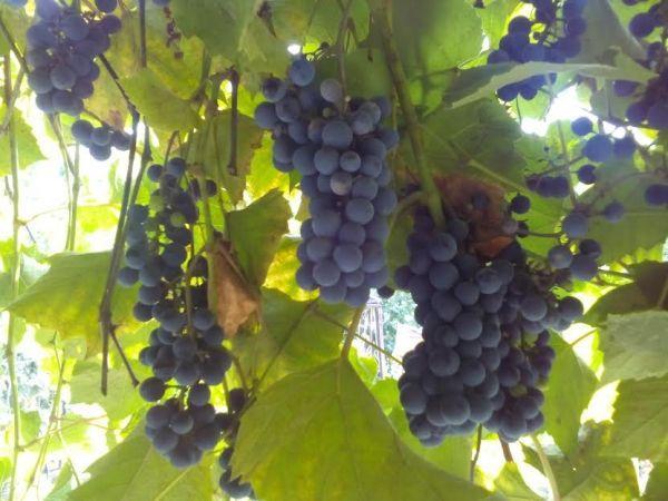 На прилавках волгоградских магазинов появятся местные вина