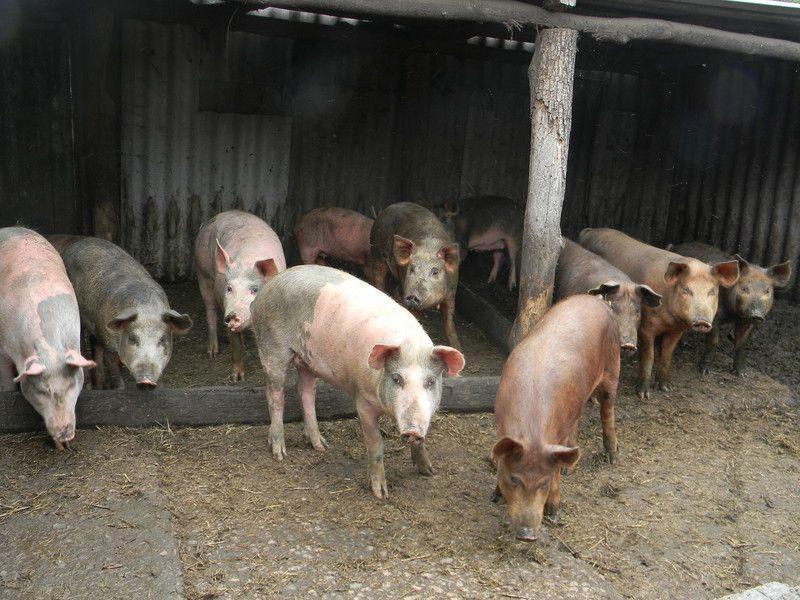 Из-за чумы свиней в 14 районах Волгоградской области введена ЧС