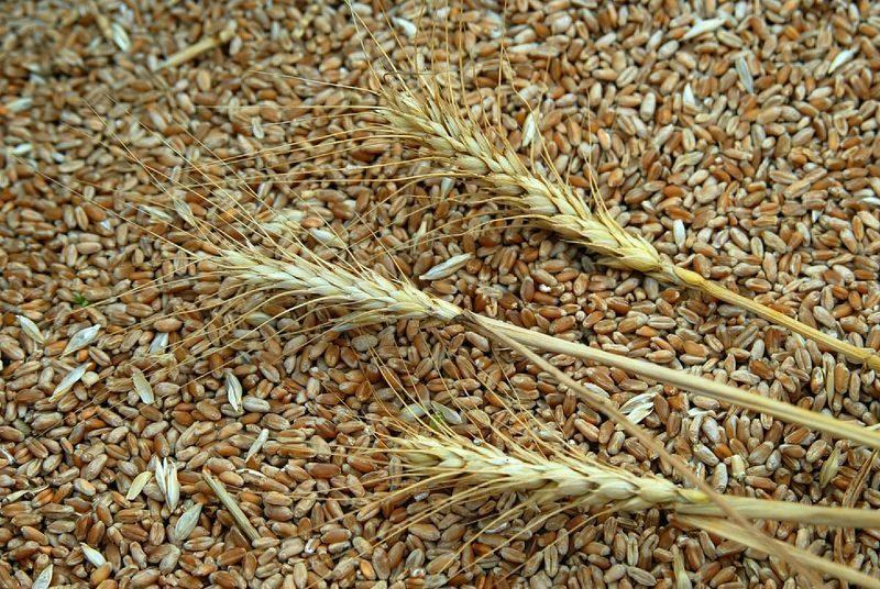 В Волгоградской области нашли насекомых в пшенице