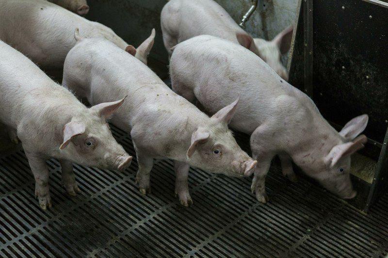 В области обнаружены очаги распространения свиной чумы