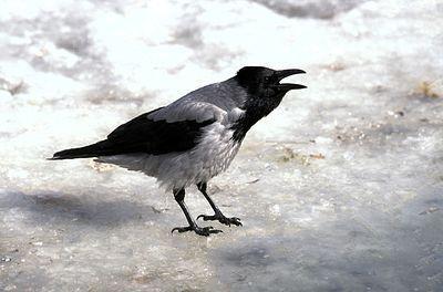 В Приморье ворона сдала приставу сбежавшую алиментщицу