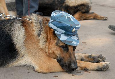 В Волгограде 20 овчарок из-за расформирования воинской части планируют усыпить