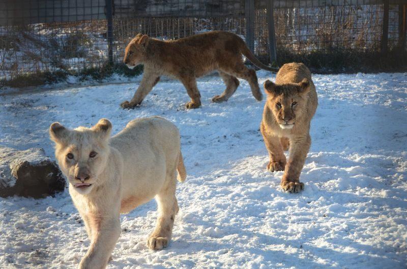 Директор крымского парка львов рассказал подробности смерти работника