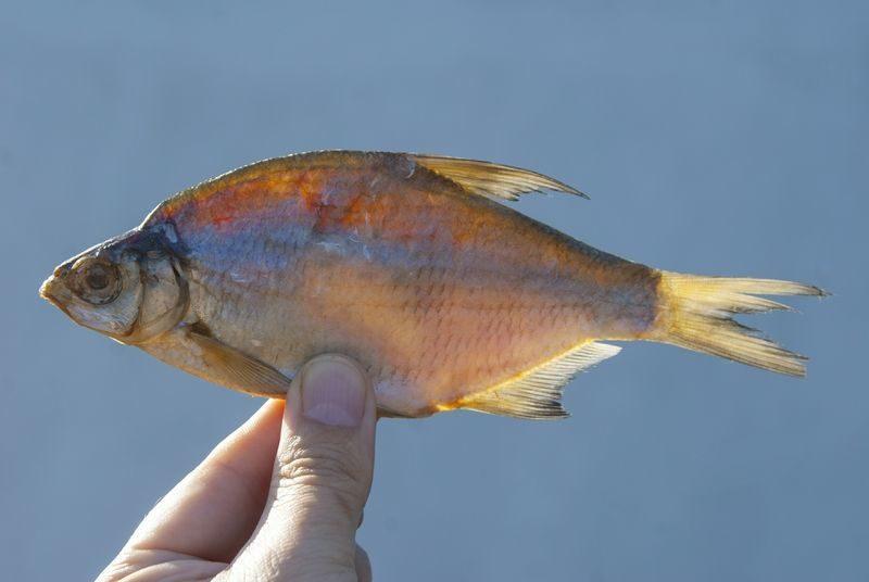 Волгоградские любители рыбы заражаются паразитами
