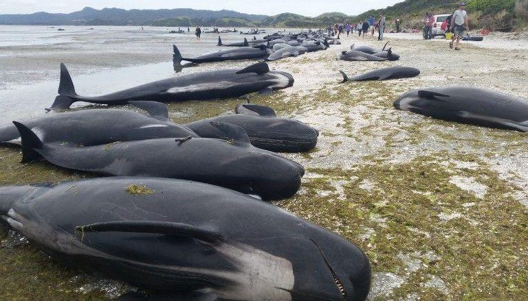 Более 400 чёрных дельфинов выбросились на берег Новой Зеландии