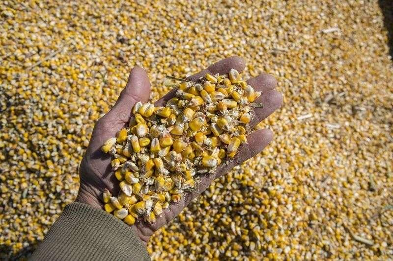 Волгоградский элеватор хранил зараженное зерно