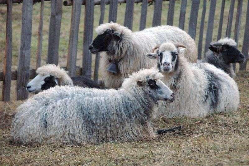 Под Волгоградом задержаны похитители овец