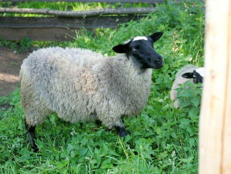 Трех жителей Быково поймали со связанной овцой возле загона