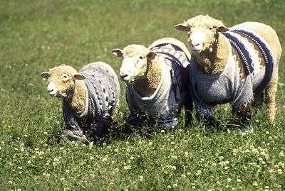 Волгоградский чабан растратил овец на миллион рублей