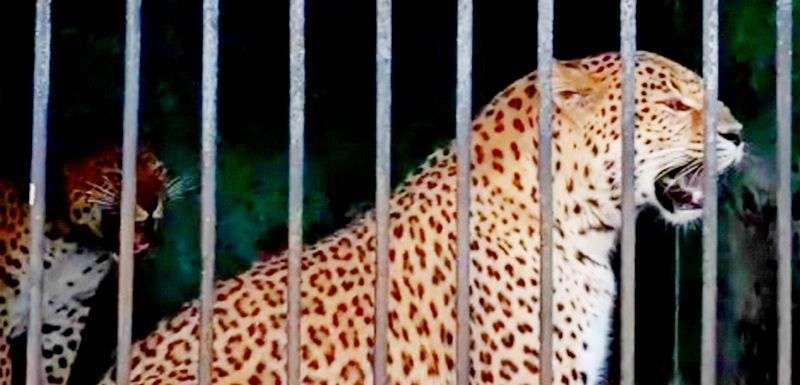 Полицейские пресекли незаконную продажу леопардов. Видео