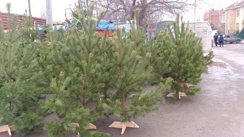 Новогодние елки и сосны можно будет купить в 60-ти точках продажи по всему городу
