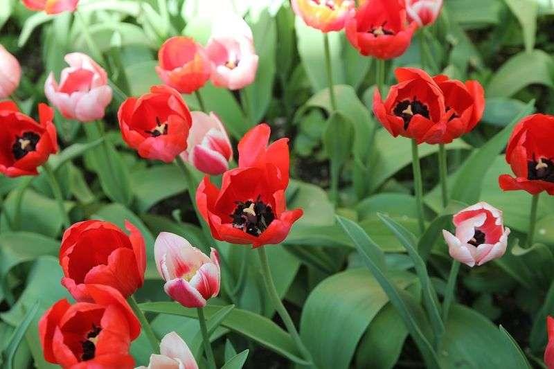 В Волжском зацветут 30 тысяч тюльпанов
