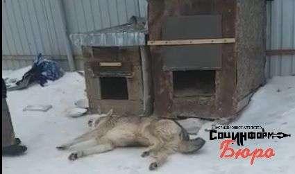 Бродячие псы Краснослободска становятся жертвами жестокого отравителя. ВИДЕО