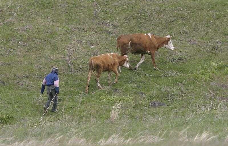 Волгоградский лихач наехал на погонщика скота