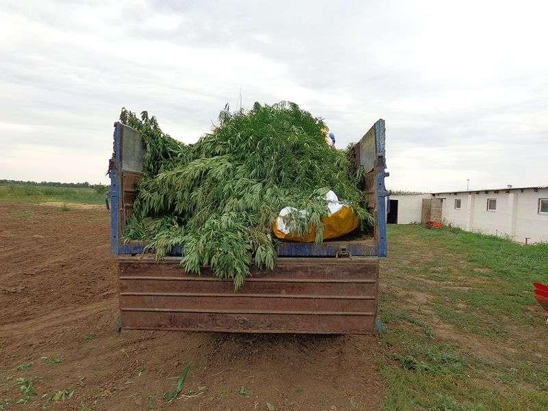 Трое конспираторов выращивали коноплю в кукурузном поле