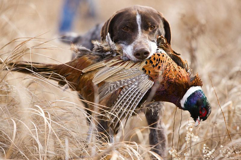 Волгоградским охотникам разрешили стрелять в фазанов