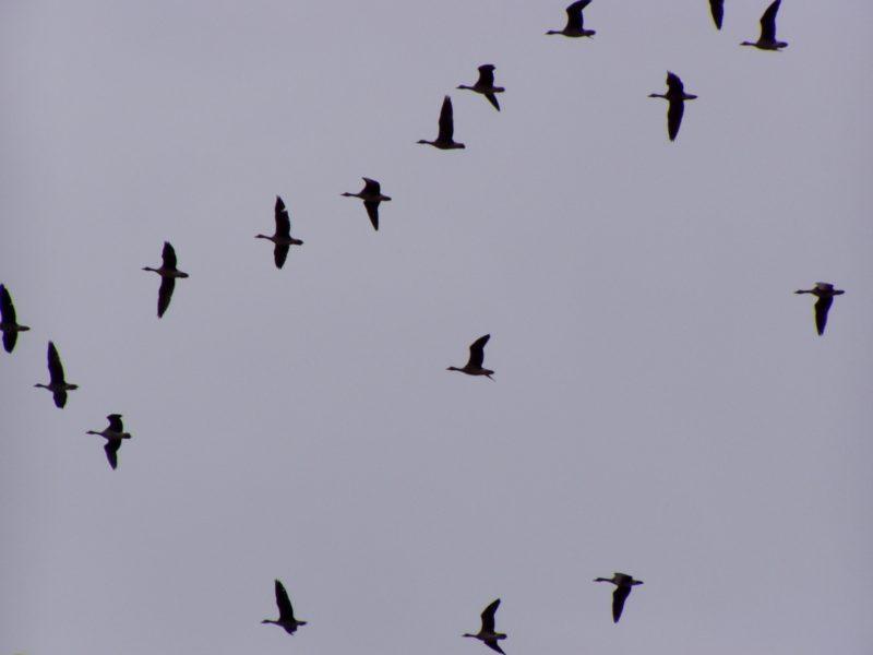 Над Эльтоном пролетают гуси и журавли