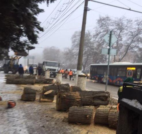 Волгоградцы возмущены вырубкой тополей у здания областной администрации