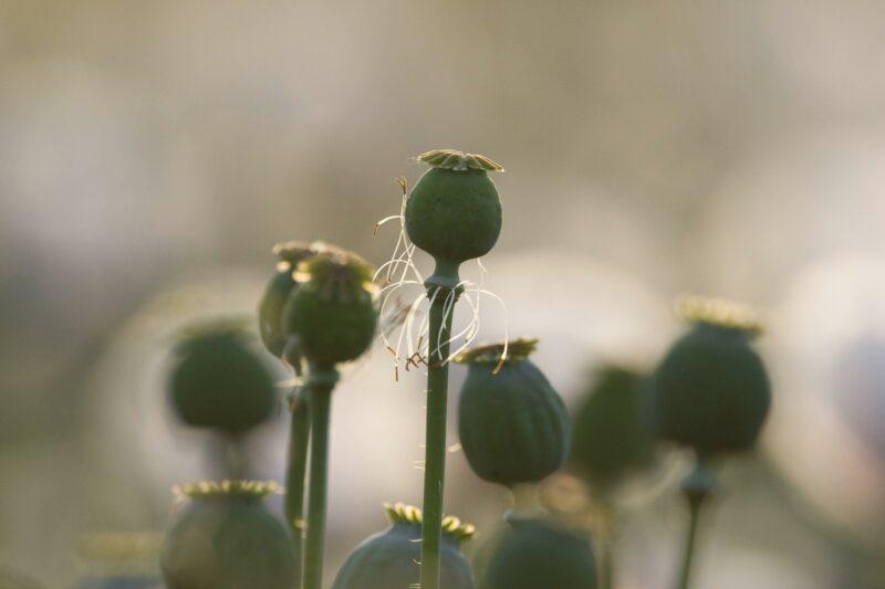 Законопроект о выращивании наркосодержащих растений приняли в первом чтении
