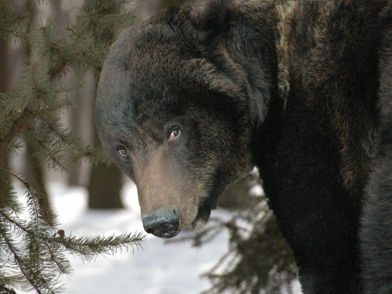 В Волгоградской области от егеря сбежала медведица