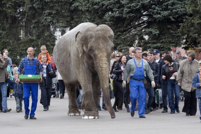 На Первомай в Волжском выступят цирковые слоны
