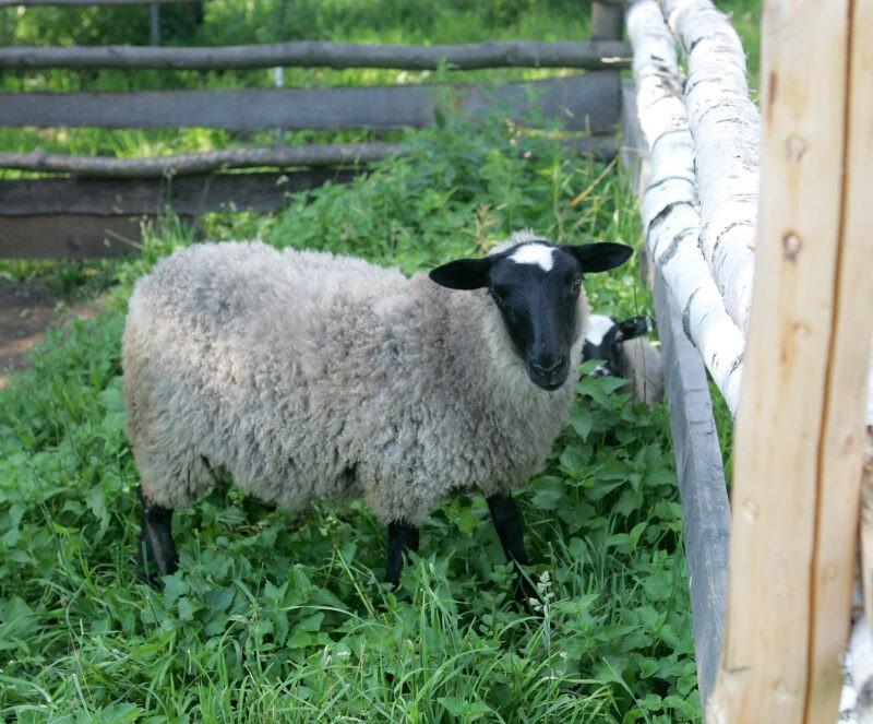 В Палласовском районе полицейские задержали похитителя овец