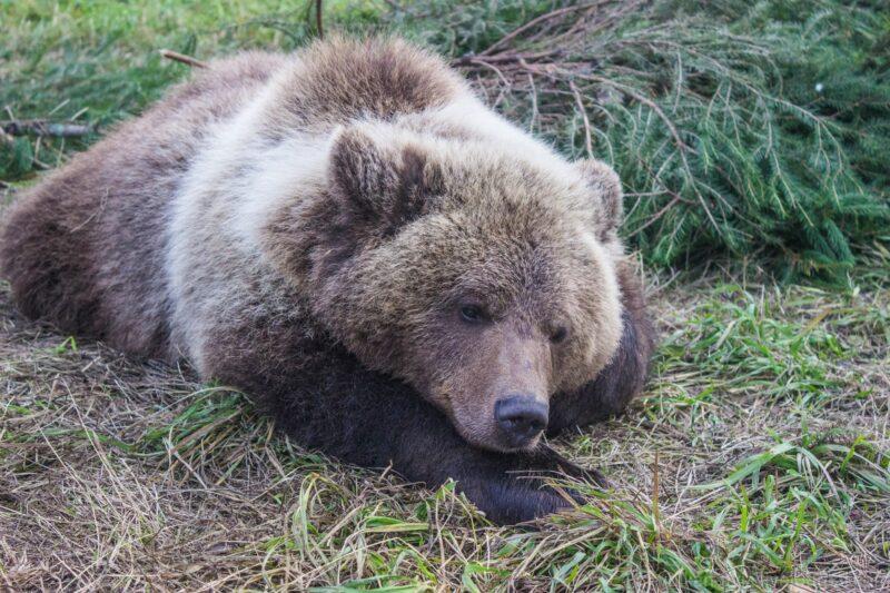 Сама вернулась: сбежавшая медведица оголодала и пришла к хозяину