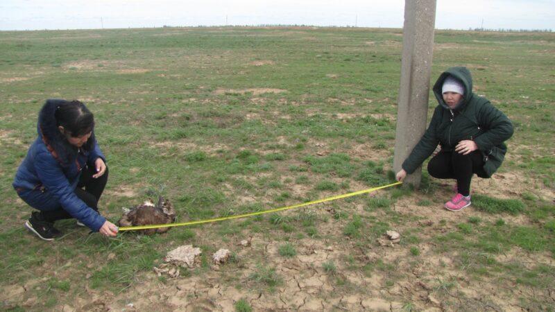 В Палласовском районе краснокнижного степного орла убило током