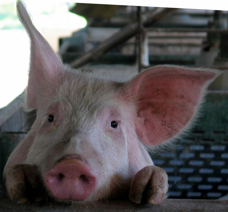 До 5 лет лишения свободы грозит троим волгоградцам за кражу свиньи