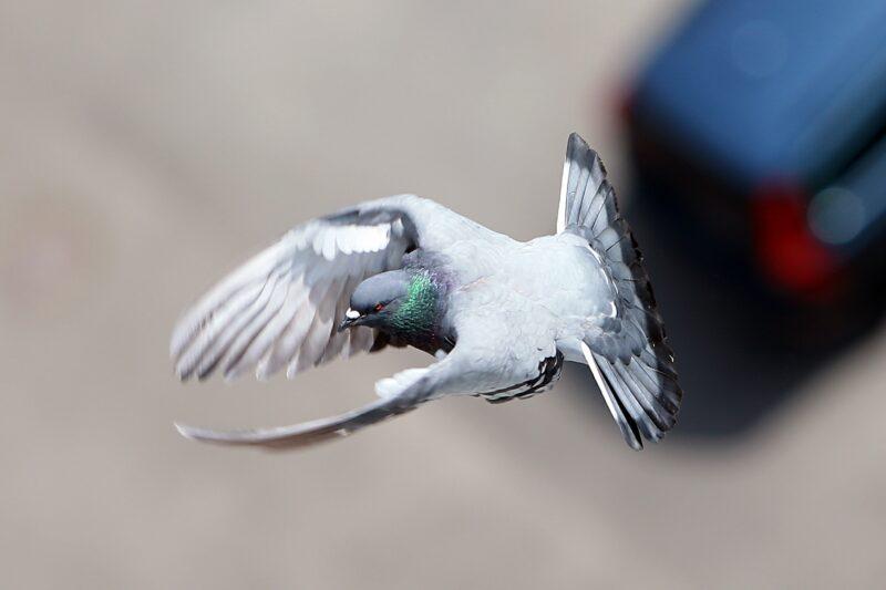 В Волгоградской области завистник украл у знакомого 9 голубей