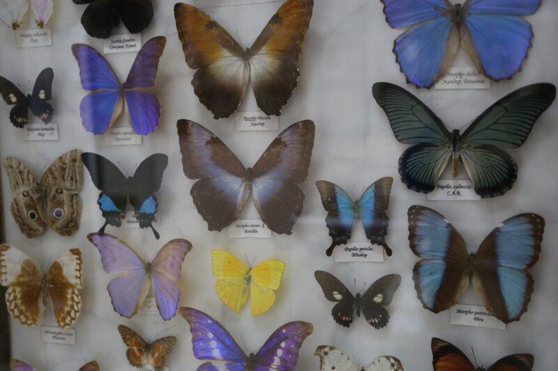 «Старую Сарепту» заполонят более 10 тысяч бабочек