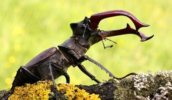В Волгоградской области борются за жизнь жука-оленя