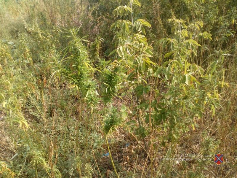 В хуторе Нижнеяблочный сожгли пять тысяч кустов конопли