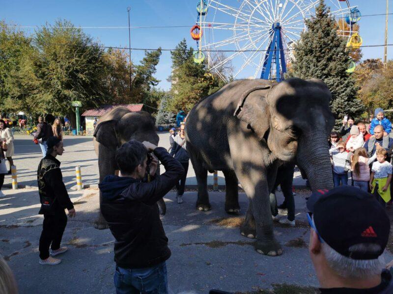 Живой слон гуляет по волгоградскому парку