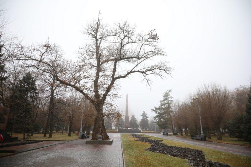 Клон легендарного тополя, пережившего войну, высадили в Волгограде